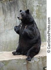 black bear - big dangerous black bear close up