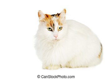 white cat with russet  stains  isolated