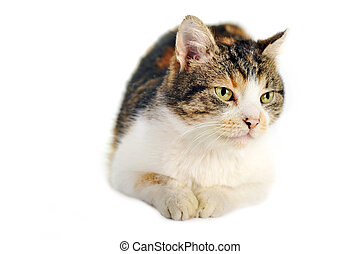 grey-white cat -  cute  grey-white cat  isolated
