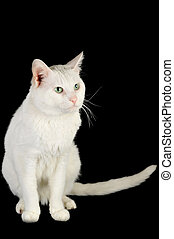 white domestic cat -  cute white domestic cat  isolated
