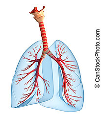 Lungs - pulmonary system Perspective view, isolated on white...