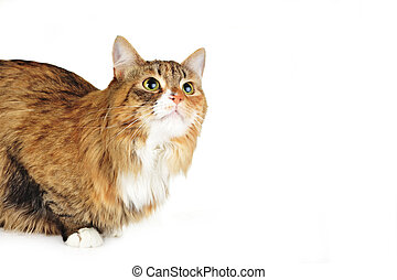 domestic cat - cute russet   domestic cat  isolated