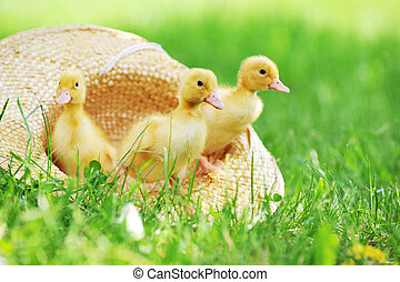 fluffy ducklings - three cute fluffy ducklings sitting in...
