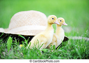 two fluffy chicks walks  in green grass