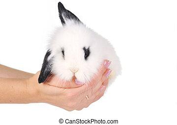 blanco, conejo, Manos