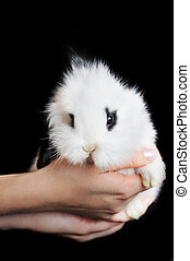 white rabbit in hands isolated on black
