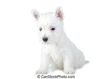 white puppy - Amusing white puppy   isolated close up