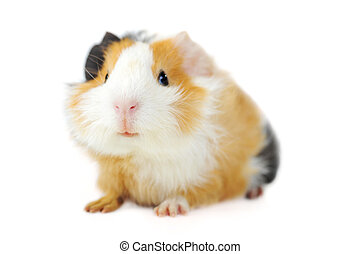guinea pig  - brown guinea pig on white isolated