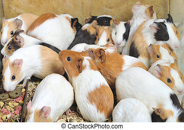 guinea pigs -  Many different guinea pigs sit