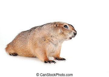 prairie dog - amusing brown prairie dog  isolated close up