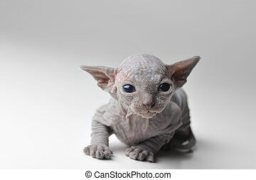 cute bald baby cat very close up