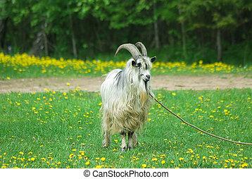 goat, grande, cuernos
