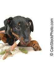 doggy playing with stick - small dog playing with wooden...