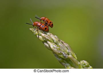 apareamiento, espárrago, escarabajos