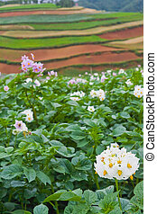 Potato fields with colourful terraced fields in background