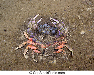Roadkill Rainbow colored Crab, crushed into a dirt road in...