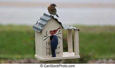 Male and Female Bluebirds - They made a nest inside this box...