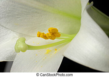 Amazing Photo of Stamen and Pollen In an Easter Lily (lilium...