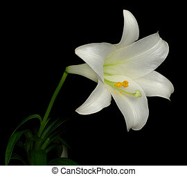 Easter Lily (lilium longiflorum) Side View - Amazing Photo...