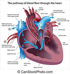 sangue, fluxo, através, Coração