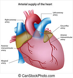 Blood supply to the heart - Coronary arteries - sites of...
