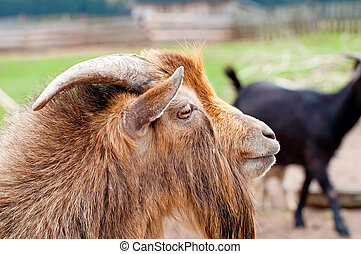 Billy Goat - Detailed picture of billy goat during the...