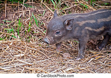 Beautiful Piglet - Detail of a beautiful brown piglet in...