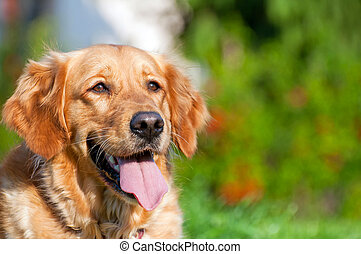 Golden Retriever - Picture of sitting Golden Retriever,...