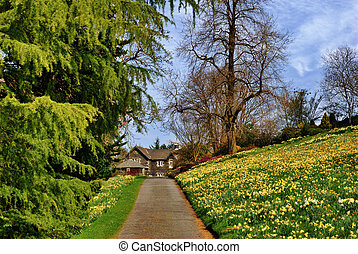 Daffodil lined drive. - A Daffodil lined drive leading to a...