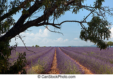 French lavender fields - Tree above rows of scented flowers...