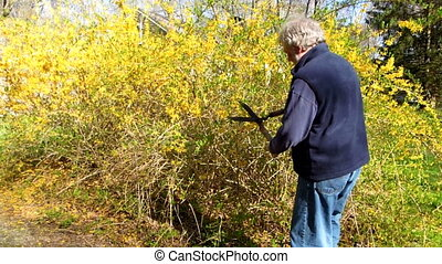 man trimming bush - senior man trimming forsythia bush with...