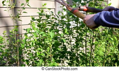 pruning bush in sprintime - close up man trimming garden...