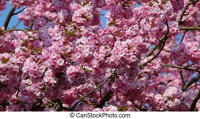 Beatiful cherry flowers in spring time
