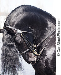 portrait of friesian horse - portrait of frisian horse