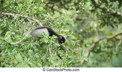 Dusky Leaf Monkey eating leaves in tropical rainforest,...