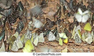 tropical butterflies on soil