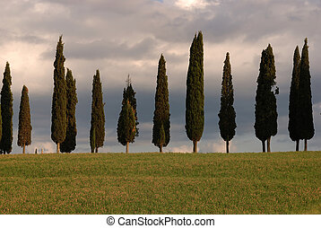 Tuscany - A group of typical cypress in the tuscan region