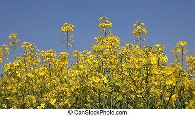 Canola flowers field