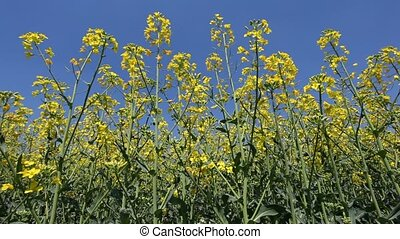 Canola flowers against blue sky