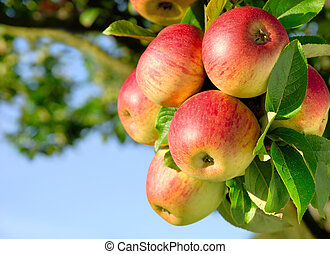 Gorgeous ripe apples on a branch - Colorful outdoor shot...