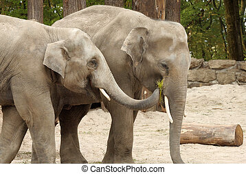 One elephant feeding the other - Two Asian elephants sharing...