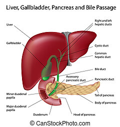 Bile passges, labeled - Liver, gallbladder, pancreas and...