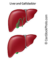 Liver and gallbladder - Two views of liver and gallbladder,...