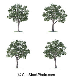 platanus trees collection isolated on white - Four platanus...