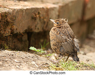 Blackbird - Portrait of a young Blackbird