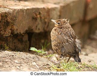 Blackbird - Portrait of a young Blackbird