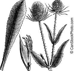 Dipsacus, sylvestris, o, cardo, vendemmia, incisione