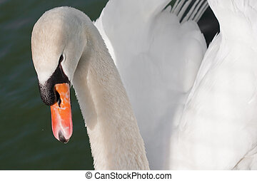 Romantic swan on lake (1) - White swan on lake (1)