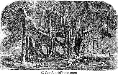 Banyan or Ficus benghalensis, vintage engraving Old engraved...