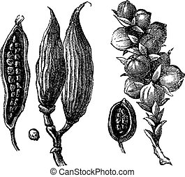 Ceylan cardamom and cardamom round vintage engraving. Old...
